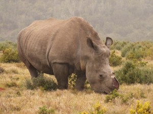 1  thandi rhino poaching conservation Oct 2013 kariega game reserve eastern cape (2)