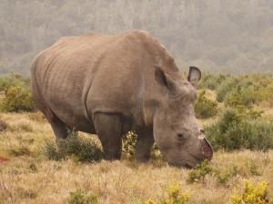 Thandi the rhino at Kariega