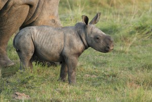 Baby rhino may 2012 kariega game reserve