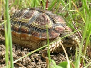 Parrotbeaked Tortoise