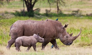 Rhino mother and calf in the wild