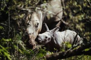 Thandi-calf-Jan2015-GaryVanWyk1